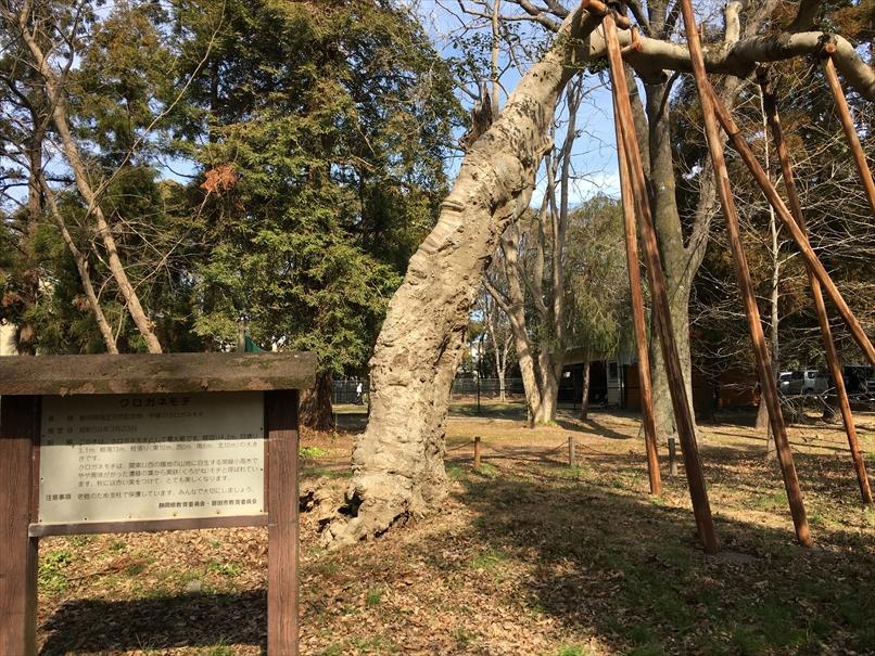 かぶと塚公園のクロガネモチ