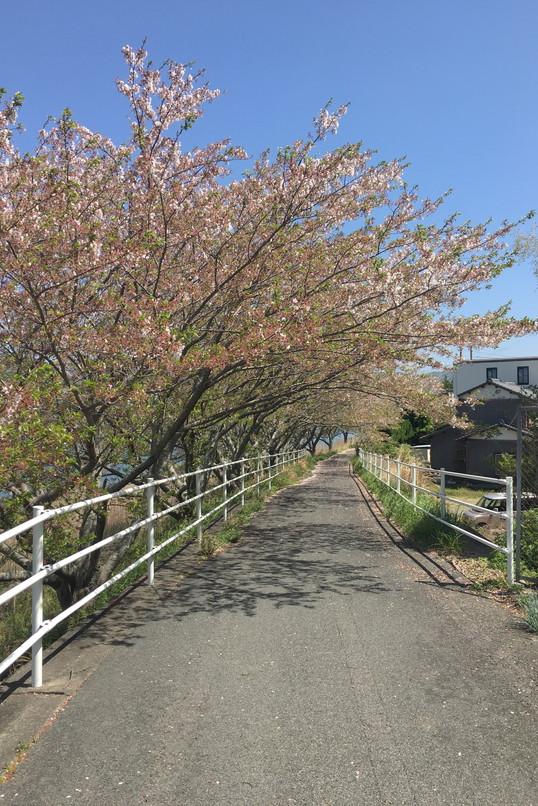 都田川桜堤の風景