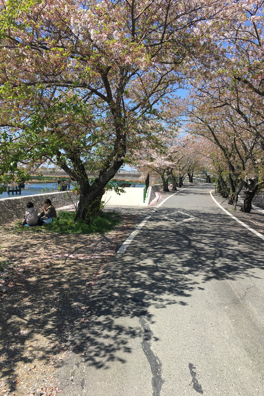 都田川桜堤近くの桜